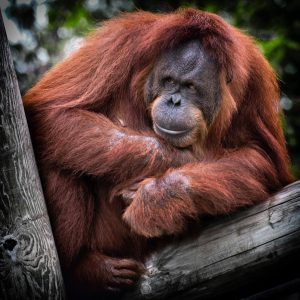 International Orangutan Day 2018 - What You Can Do To Help This Amazing Species | Thimble End